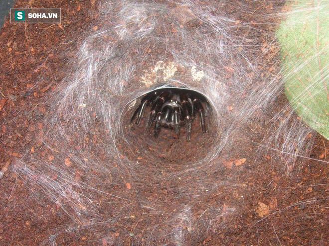 Hậu cháy rừng Úc: Sự trỗi dậy của nhện độc nhất thế giới, khiến nạn nhân chết ngạt trên cạn - Ảnh 3.