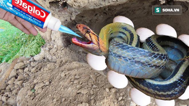Dùng kem đánh răng và trứng, chàng trai khiến rắn khủng cũng phải chui khỏi hang - Ảnh 3.