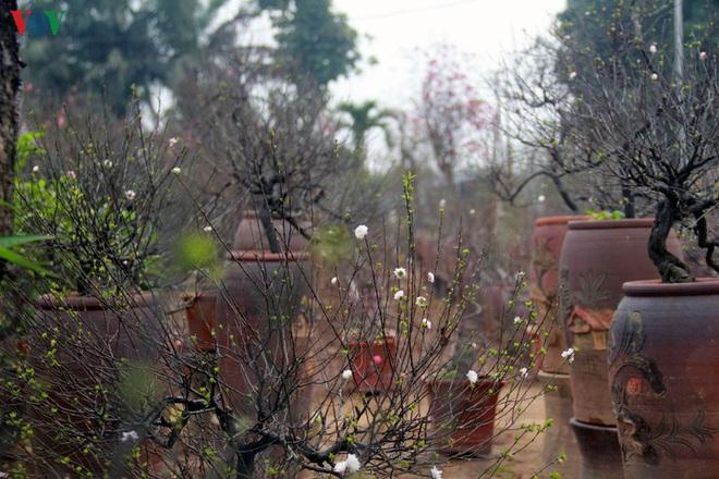 Ngắm vườn nhất chi mai giá bạc triệu được nhiều người săn lùng dịp Tết - Ảnh 1.