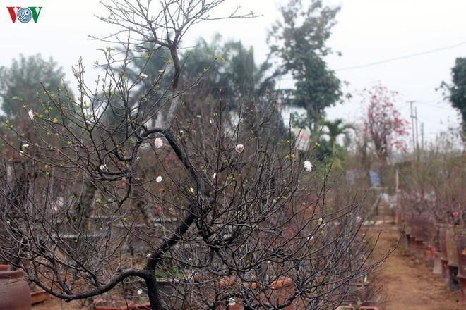 Ngắm vườn nhất chi mai giá bạc triệu được nhiều người săn lùng dịp Tết - Ảnh 2.