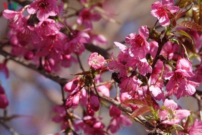 Ảnh: Hoa đào bừng sáng trời đông Mù Cang Chải - Ảnh 8.