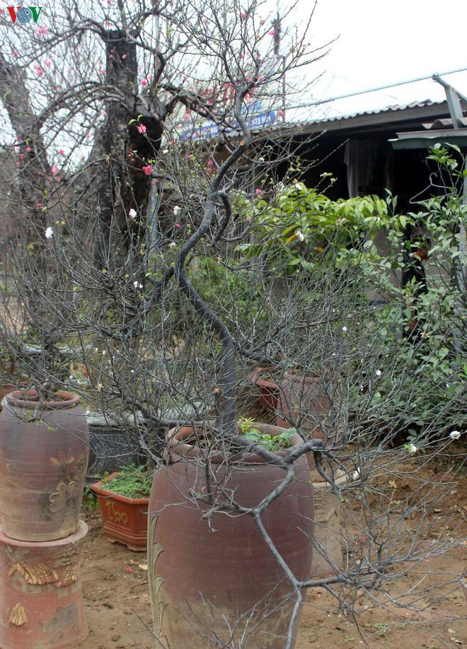 Ngắm vườn nhất chi mai giá bạc triệu được nhiều người săn lùng dịp Tết - Ảnh 8.