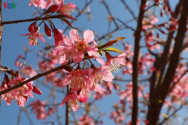 Ảnh: Hoa đào bừng sáng trời đông Mù Cang Chải - Ảnh 9.