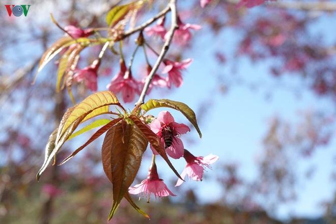 Ảnh: Hoa đào bừng sáng trời đông Mù Cang Chải - Ảnh 10.