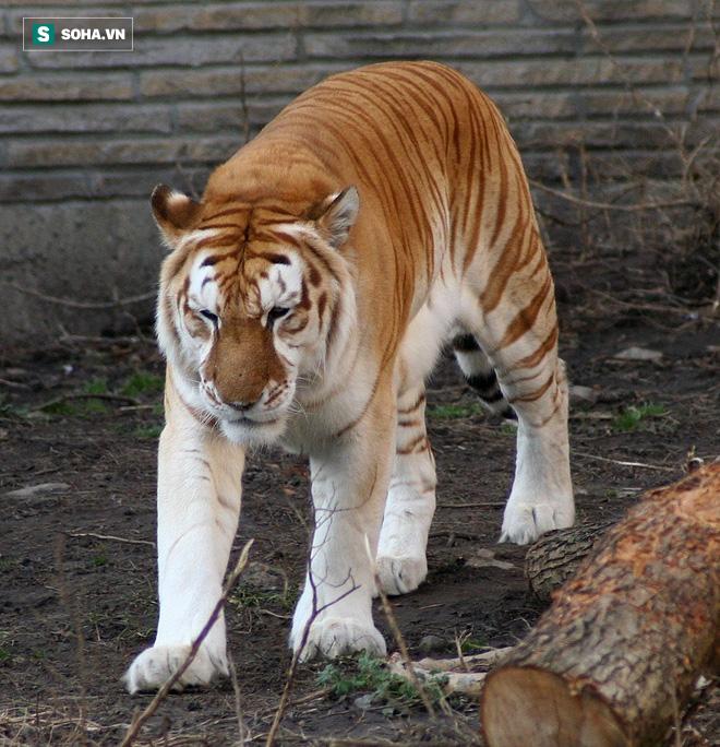 Hổ vàng gây sự với nhau, kẻ khiêu khích hốt hoảng vì phản ứng mạnh mẽ của đối thủ - Ảnh 1.