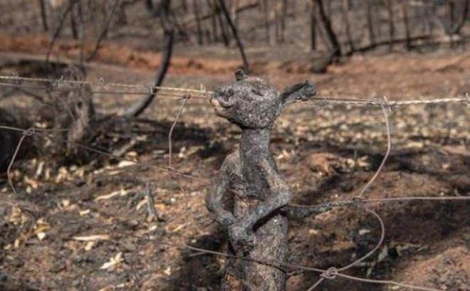 Ảnh: Đau đớn 'cái chết câm lặng' của hàng trăm triệu động vật trong cháy rừng Australia