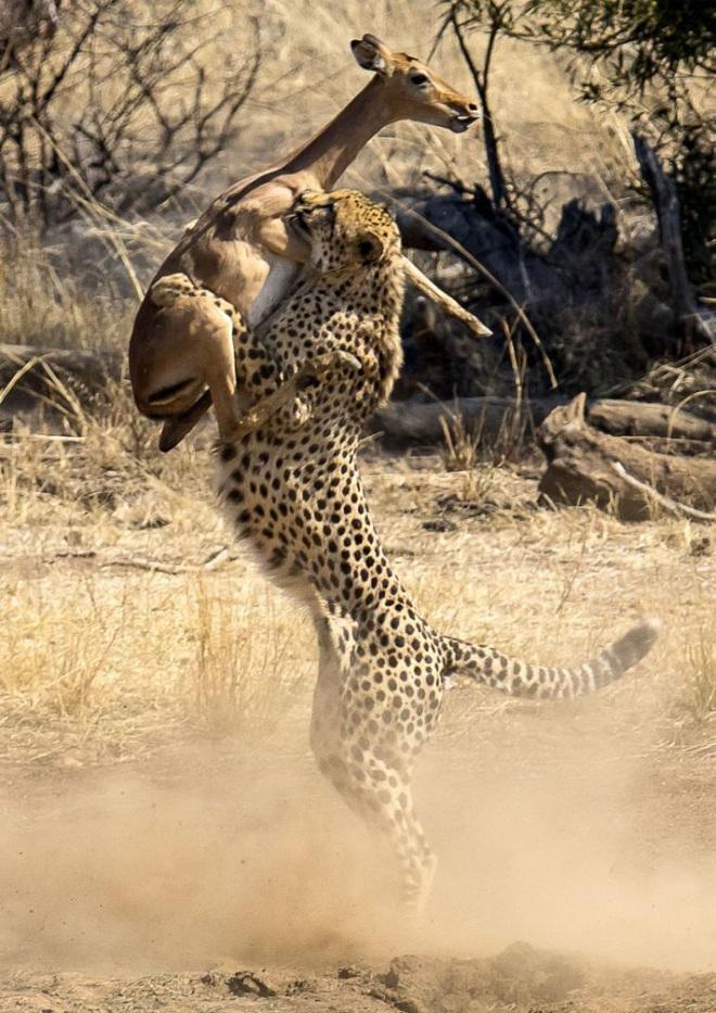 Báo săn giở tuyệt kỹ khinh công, bắt chết linh dương ngay giữa không trung - Ảnh 2.
