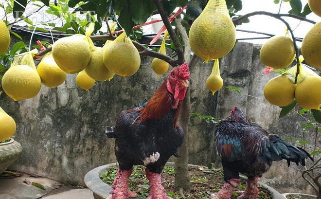 Ninh Bình: Nuôi gà tiến vua, trồng bưởi cảnh bán Tết mà ăn Tết to