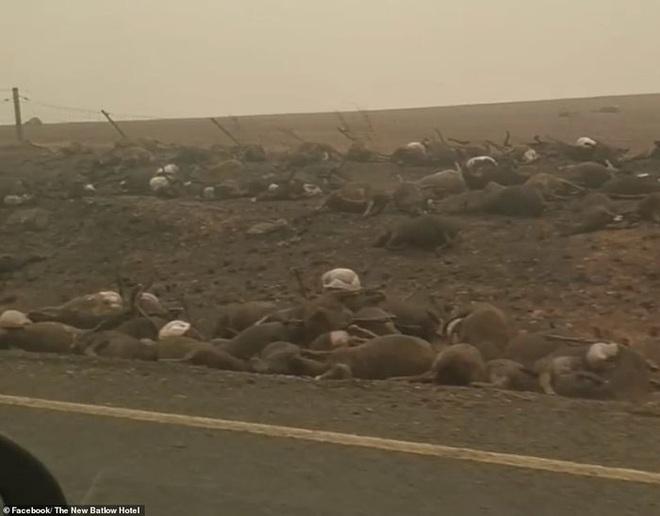 Các loài vật 'bị nấu chín tới chết' trong thảm họa cháy rừng ở Australia - ảnh 1