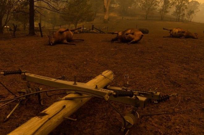 Các loài vật 'bị nấu chín tới chết' trong thảm họa cháy rừng ở Australia - ảnh 5