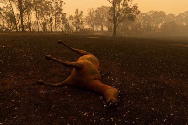 Các loài vật 'bị nấu chín tới chết' trong thảm họa cháy rừng ở Australia - ảnh 7