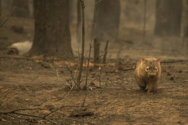 Các loài vật 'bị nấu chín tới chết' trong thảm họa cháy rừng ở Australia - ảnh 8