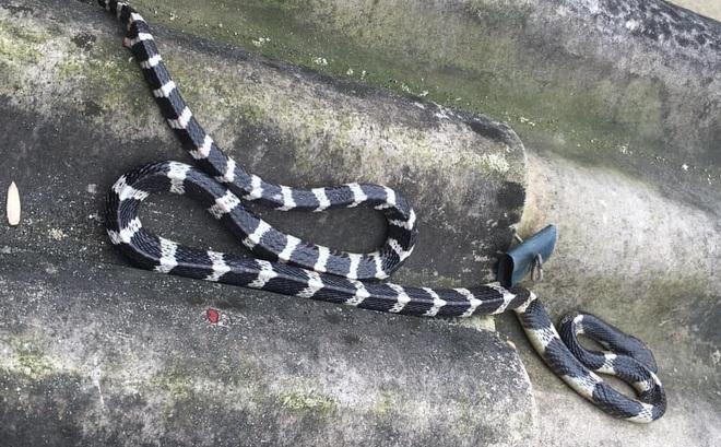 Nghe con 22 ngày tuổi khóc thét, người mẹ ở Hà Tĩnh tỉnh dậy thấy rắn độc dài hơn 1m dưới gối