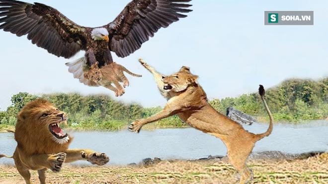 Đại bàng rơi vào tay bầy sư tử: Cái kết đầy bất ngờ cho chúa tể bầu trời - Ảnh 1.