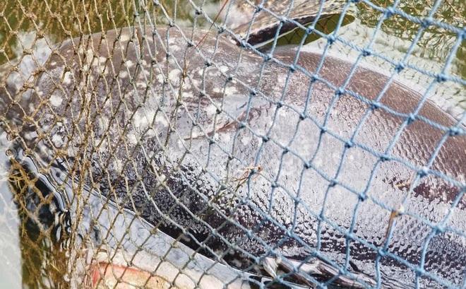 Đam mê với cá mú khổng lồ