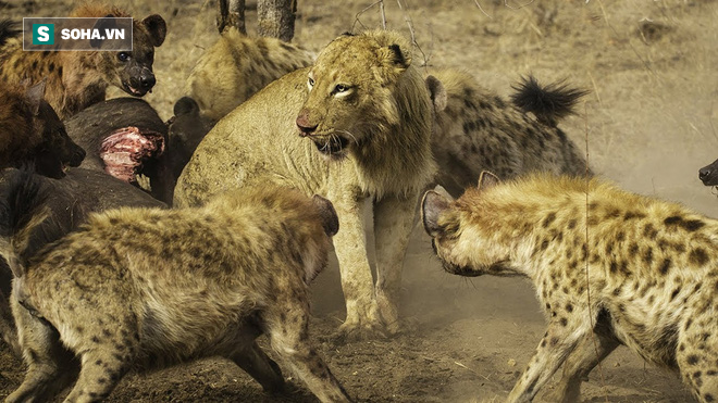 Bị bầy linh cẩu dồn ép vào đường cùng, sư tử giận dữ vọt ra và cái kết - Ảnh 1.