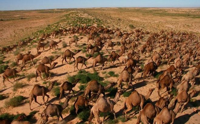 Nguyên nhân khiến hơn 10.000 con lạc đà ở Australia sẽ bị tiêu diệt trong vòng 5 ngày