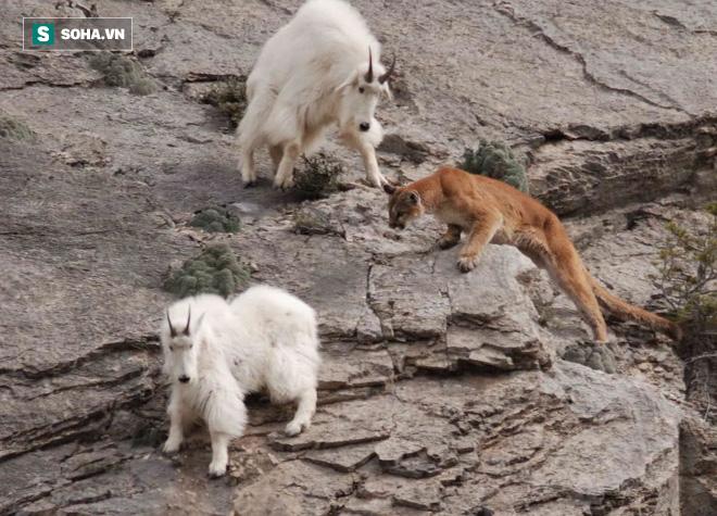Báo sư tử khiếp vía vì đụng phải dê núi hung dữ: Bị dồn vào vách núi chịu trận - Ảnh 1.