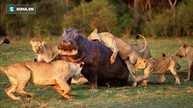 Hà mã bị thương chiến đấu với  bầy sư tử háu đói và pha xử lý cực kỳ thông minh - Ảnh 1.