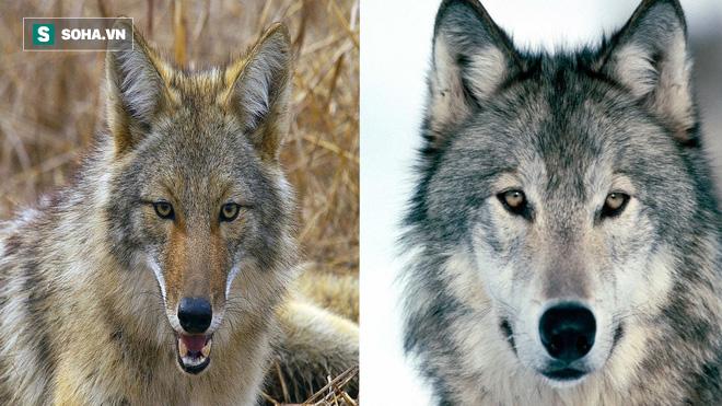 Ăn thịt con mồi của bầy sói xám, chó sói đồng cỏ hứng chịu đòn trừng phạt tàn nhẫn - Ảnh 1.