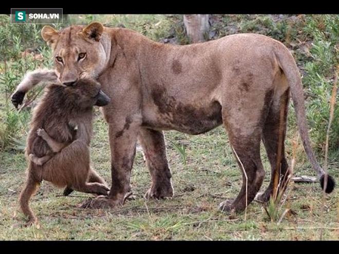 Núp trong bụi cây, sư tử bất ngờ lao ra khiến khỉ đầu chó trở tay không kịp - Ảnh 1.