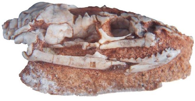 Bí mật loài rắn có chân: Hậu duệ chung tổ tiên với quái thú bá chủ đại dương Thương long? - Ảnh 3.
