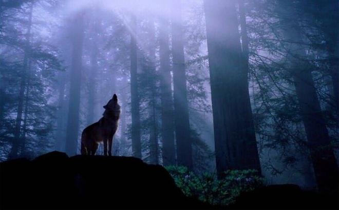 """Giải mã bí ẩn tiếng hú của """"sát thủ rừng xanh"""" giữa đêm khuya có thực sự đáng sợ?"""