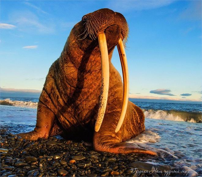 Gần 1000 USD cho cặp ngà hải mã dài hơn 1 mét: Con người đang tước đoạt quyền được sống của động vật ra sao? - Ảnh 2.