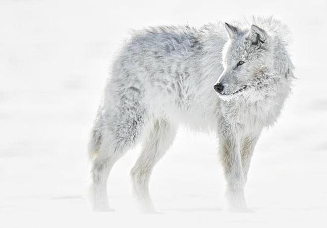 Mồ chôn của sói Bắc Cực: Lụi tàn không phải vì thử thách khắc nghiệt của tự nhiên, thứ gì đang chôn chúng? - Ảnh 2.
