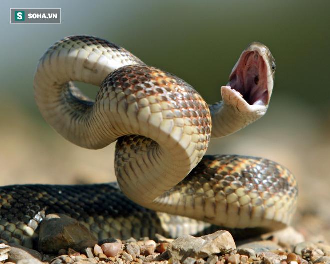 Giải mã bí ẩn: Động vật lớn nhất mà rắn có thể nuốt là gì? - Ảnh 1.