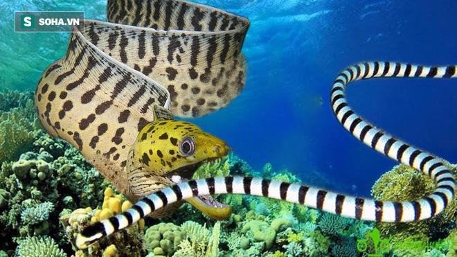 Cá chình kịch chiến rắn độc biển: Kết quả bi thảm cho kẻ yếu - Ảnh 1.