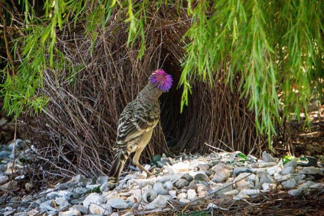 """Giải mã bí ẩn nghi thức thu hút bạn tình độc đáo của loài chim được mệnh danh """"thánh tán gái"""" - Ảnh 2."""