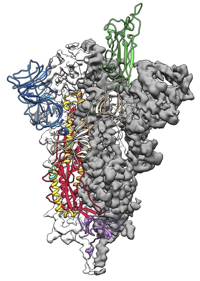 Đột phá trong nghiên cứu virus corona: Các nhà khoa học Mỹ tạo thành công bản đồ phân tử 3D của COVID-19 - Ảnh 1.