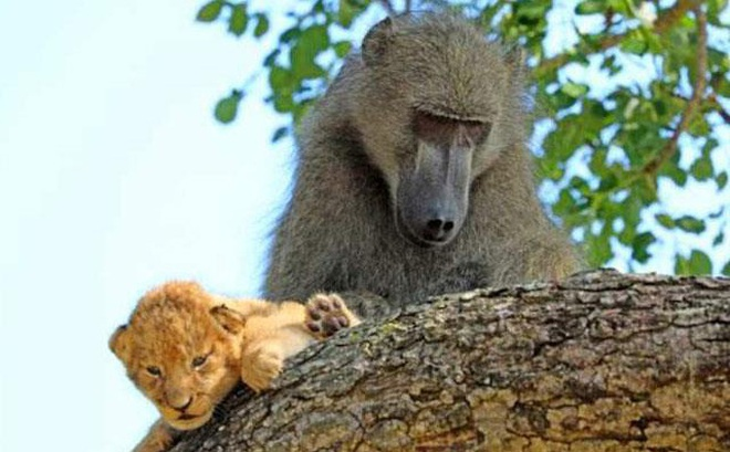 Video: Khỉ đầu chó 'trộm' sư tử con về chăm sóc như con đẻ