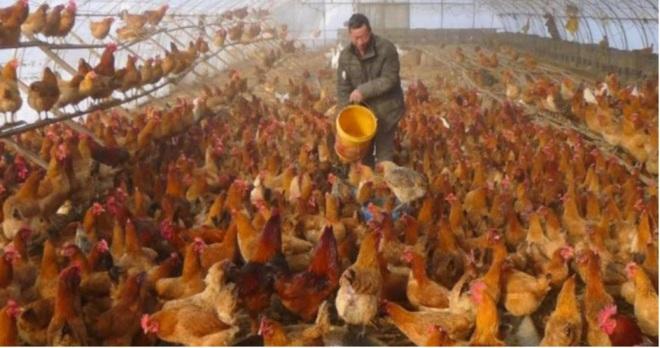 Người nuôi gà Trung Quốc sấp mặt vì Covid-19 - Ảnh 1.