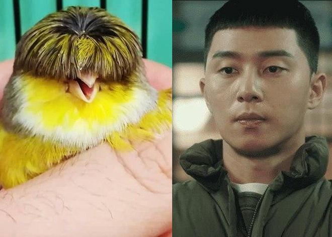 Chú chim nhỏ gây bão mạng vì sở hữu mái tóc y chang nhân vật trong phim Tầng lớp Itaewon - Ảnh 2.