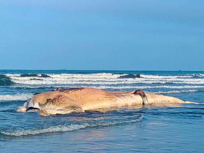 [Ảnh] Cả trăm người làm cơm, lập bàn thờ, thắp hương, chôn xác cá voi nặng hơn 10 tấn trong đêm - Ảnh 3.