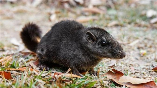 1001 thắc mắc: Vì sao nói Chuột chù nước là loài ăn thịt rất tinh vi? - Ảnh 3.