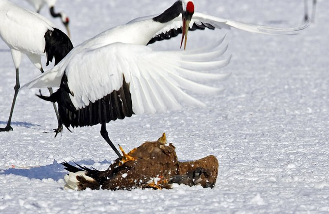 Khó tin: Đại bàng định bắt nạt sếu đầu đỏ thì bị con mồi đánh bại và phải tháo chạy - Ảnh 2.