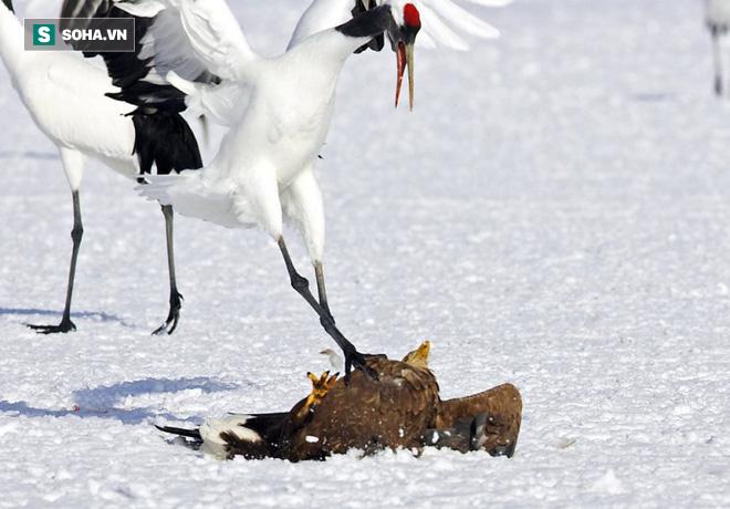 Khó tin: Đại bàng định bắt nạt sếu đầu đỏ thì bị con mồi đánh bại và phải tháo chạy - Ảnh 3.