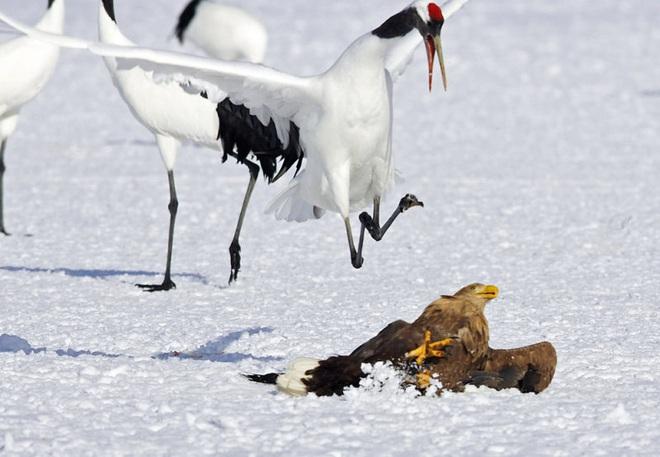 Khó tin: Đại bàng định bắt nạt sếu đầu đỏ thì bị con mồi đánh bại và phải tháo chạy - Ảnh 4.