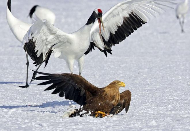 Khó tin: Đại bàng định bắt nạt sếu đầu đỏ thì bị con mồi đánh bại và phải tháo chạy - Ảnh 5.