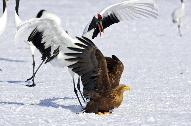 Khó tin: Đại bàng định bắt nạt sếu đầu đỏ thì bị con mồi đánh bại và phải tháo chạy - Ảnh 6.