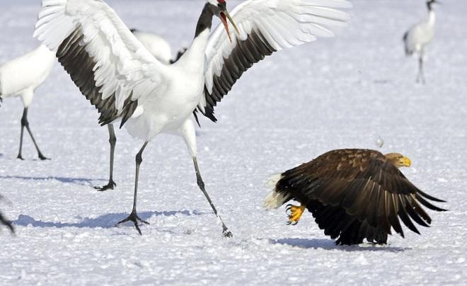 Khó tin: Đại bàng định bắt nạt sếu đầu đỏ thì bị con mồi đánh bại và phải tháo chạy - Ảnh 7.