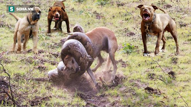 Chủ quan với trăn anaconda, chó bị kéo xuống nước và chiến thắng bất ngờ - Ảnh 1.