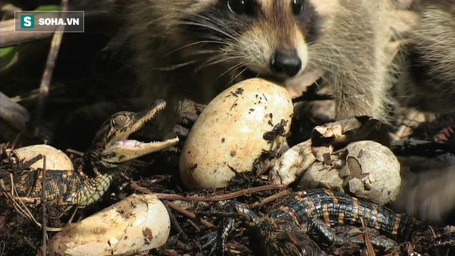 Vừa thấy ánh Mặt Trời, tổ trứng cá sấu con đã bị gấu mèo ăn sạch sẽ - Ảnh 1.