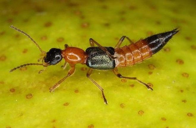 1001 thắc mắc: Loài kiến nào có nọc độc gấp 12 lần nọc rắn hổ mang? - Ảnh 2.