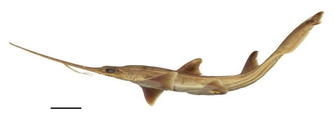Phát hiện 2 loài cá mập mới, hiếm tới nỗi chưa từng có bất kỳ nghiên cứu nào về chúng - Ảnh 1.