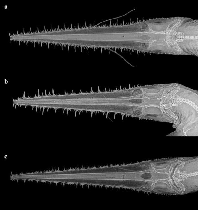Phát hiện 2 loài cá mập mới, hiếm tới nỗi chưa từng có bất kỳ nghiên cứu nào về chúng - Ảnh 3.