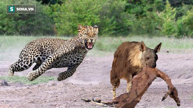 Bảo vệ con, báo mẹ tung chiêu hiểm khiến linh cẩu nâu cũng khiếp sợ - Ảnh 1.